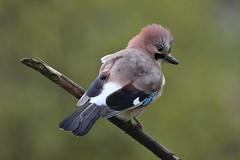 geai des chênes / Garrulus glandarius 19E_6454o (Bernard Fabbro) Tags: geai des chênes garrulus glandarius oiseau bird eurasian jay