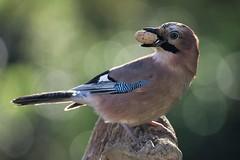 geai des chênes / Garrulus glandarius  19E_6183 (Bernard Fabbro) Tags: geai des chênes garrulus glandarius oiseau bird eurasian jay