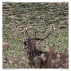 Le brame (BerColly) Tags: france auvergne cantal brame stag deer cerf portrait bercolly google flickr