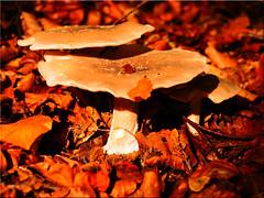 Autumn time is mushroom time (Ostseetroll) Tags: deu deutschland geo:lat=5418665975 geo:lon=1064610031 geotagged schleswigholstein sielbeck ukleisee herbst autumn pilze mushrooms makroaufnahme macroshot olympus em10mii