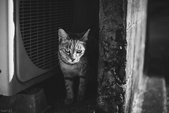 猫 (fumi*23) Tags: ilce7rm3 sony sigma 70mm sigma70mmf28dgmacro a7r3 animal alley cat chat gato neko monochrome bw blackandwhite bnw emount ねこ 猫 ソニー モノクロ