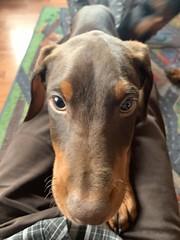 Doberman Pinscher Puppy Kaiser (firehouse.ie) Tags: boy red animal animals puppy doberman kaiser pup dobie pinscher k9 dobe dobermann dobey dobies dobermans dobes pinschers dobermanns dobeys pups puppies