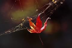 one solitary leaf (1crzqbn) Tags: autumn thanksgiving nature leaf maple spiderweb outside light sunlight bokeh inmygarden 1crzqbn