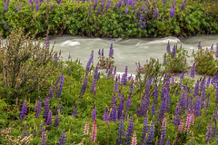 Islands of lupines (tmeallen) Tags: lupines lupinusmutabilis blossoms springblooms flowingwater landscape travel carreteraaustral rioelcanal aysen patagonia chile treslagos