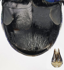 Holopyga mlokosiewitzi sterna & genitalia (AlxndrBrg) Tags: hymenoptera aculeata apocrita chrysididae chrysidinae elampini stacking zerenestacker