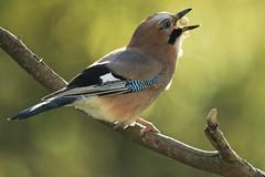 geai des chênes / Garrulus glandarius 19E_6178 (Bernard Fabbro) Tags: geai des chênes garrulus glandarius oiseau bird eurasian jay