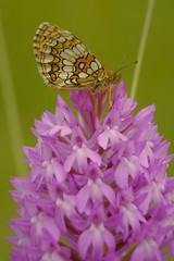 Papillon sur orchidée (jpto_55) Tags: papilllon orchidée proxi bokeh xt20 fuji fujiflim fujixf55200mmf3548rlmois hautegaronne france