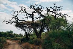 Acacia Elephant (Javier Pimentel) Tags: africa elefanteafricano eastafrica elephant tree arbol lagomanyara elefante parquenacional lakemanyaranationalpark manyaranationalpark manyara lakemanyara tanzania naturalpark