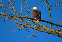 Against A Clear Blue Sky (Neal D) Tags: bc abbotsford milllake bird eagle baldeagle haliaeetusleucocephalus