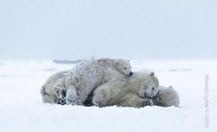 Polar Bear, mom and cubs (karenmelody) Tags: alaska animal animals familyursadae mammal mammals polarbear usa ursusmaritimus vertebrate vertebrates salcha unitedstatesofamerica