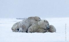 Polar Bear, mom and cubs (karenmelody) Tags: usa animal animals alaska mammal unitedstatesofamerica polarbear mammals vertebrate ursusmaritimus vertebrates salcha familyursadae