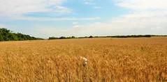 ROGER TESTEANDO EL TRIGAL (su-sa-ni-ta) Tags: trigales paseo nature labrador argentina trigal roger today hoy noviembre 2019 cordoba wheat