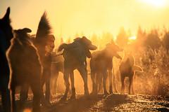 Fall training (Jens Wachsmann) Tags: sleddogs husky autumn alaskanhusky sweden