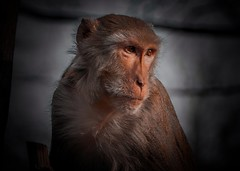 (Sony Selp18105G) (gyulaiván) Tags: sony selp18105g glens a6500 zoo miskolc vadaspark monkey