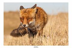 Rotfuchs (Dominik Risthaus) Tags: rotfuchs red fox wildlife tamron canon