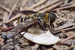 Fly in pine forest-7935 (Miguel Angel Larrea) Tags: macro naturaleza nature wildlife insecto insect mosca fly guadalajara spain tajo altotajo