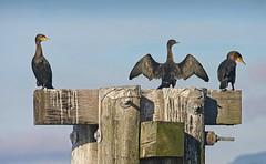 20191121Z7_6795FLR (cisco42) Tags: bc britishcolumbia canada doublecrestedcormorants powellriver ferrydock pillings wings bird