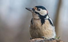 Woodpecker (Torok_Bea) Tags: fakopáncs beautiful bird nikond7200 nikon nature wonderful wild wildanimal wildlife wildbird nationalpark tamron tamron150600 lovely lovenatur woody woodpecker wildanimals amazing awesome forest dendrocopos