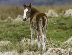 Wild Pony Foal in the Brecon Beacons (wayne.withers1970) Tags: small pretty horse pony brecon hills moorland mountain color colorful nature natural colour colourful wild wildlife wales flickr dof bokeh naturephotography country countryside outside outdoors alive fauna flora canon sigma light blur black white brown green fine dark animal grass heath plant vegetation equine may spring summer