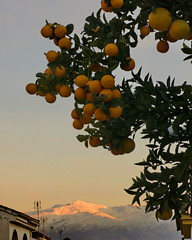 Granizada de naranja (Micheo) Tags: naranjas oranges sierranevada atardecer elveleta atardecerenlasierra lanieve unatradecomootras naranjasparamermelada naranjasamargas bitteroranges