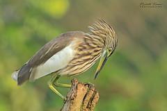 Pond Heron (Dr. Nishith Kumar Photography) Tags: pondheron drnishithkumarphotography drnishith drnishithkumar canon canon7dmarkii birdsofindia birdphotography bird 7dmarkii sigma sigma150600contemporary sigma150600 sigma150600c kerala thattekad