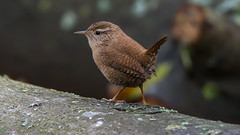 a Wren on a big trunk (Franck Zumella) Tags: bird oiseau nature sing singing chanter chant chantant hidden hidding cacher wildlife tree arbre branch branche wren troglodyte mignon sony a7s a7 tamron 150600 animal song loud minimalism minimalist minimalisme small noisy trunk tronc foret forest