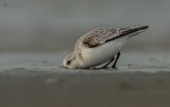 Sanderling beim buddeln (normen.nikon) Tags: sanderling limikolen d500 200500 berlebach mini natur wildlife vögel vogel tiere bird