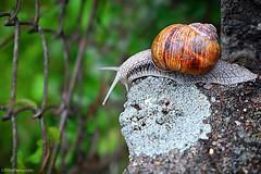 oha, hier geht's aber runter!! .... (Fay2603) Tags: snail schnecke natur fujifilm xe1 weinbergschnecke zaun fence