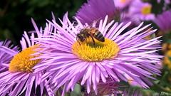 Honeybee likes to be the Centre of Attention (Lani Elliott) Tags: honeybee bee insect flower flowers erigeron seasidedaisy pink petals pinkflowers nature naturephotography garden homegarden lanielliott lanisflowers lanisgarden macro macrounlimited macrophotography upclose closeup bokeh beesbeesbeesadminfave
