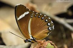 8725 (laba laba) Tags: ipassa research station ipassaresearchstation ivindo national park ivindonationalpark africa gabon rainforest nature macro closeup insect butterfly euphaedra eleus euphaedraeleus