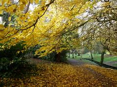 five autumn views (auroradawn61) Tags: bournemouthgardens autumn fall leaves trees bournemouth dorset uk england november 2019 lumixgx80 autumncolours persianironwood