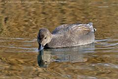 5958 Gadwall (photozone72) Tags: wildlife nature birds wwtbarnes londonwetlandcentre gadwall canon canon7dmk2 7dmk2 canon100400f4556lii