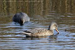 5951 Gadwall (photozone72) Tags: wildlife nature birds wwtbarnes londonwetlandcentre gadwall canon canon7dmk2 7dmk2 canon100400f4556lii