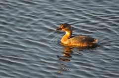 Basking in the Sun (Neal D) Tags: bc abbotsford milllake bird grebe piedbilledgrebe