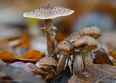 _ZAA9531 (De Hollena) Tags: autumn champignon closeup cogumelo fall herbst herfst herfstkleuren macro macrophotography makro mushroom natur nature naturephotography naturfotografie otoño paddenstoel pilz toadstool seta