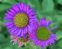 Fall flowers (L@nce (ランス)) Tags: flowers flower magenta macro micro nikkor canada nikon britishcolumbia jamesbay victoria bokeh