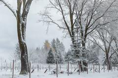 A Taste of Winter (HFF) (buffdawgus) Tags: blackoaktrees vineyard canon50mm18 canon5dmarkiii landscape nevadacity sierranevadafoothills california snowyvineyard lightroom6 autumn topazstudio cementhillroad fall nevadacounty snow 50mm
