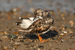 Turnstone (Chris*Bolton) Tags: turnstone bird nature shore shoreline beach bray wicklow ireland