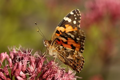 Painted Lady (Chris*Bolton) Tags: paintedlady butterfly butterflies nature insect flower rathdrum wicklow ireland garden