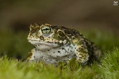 Sapo-corredor, Natterjack toad (Epidalea calamita) (Nuno Xavier Moreira) Tags: sapocorredor natterjacktoadepidaleacalamitanunoxavierlopesmoreirangc animals animais nature natureza selvagem pics wildlife wildnature wild photographer portugal ao ar livre ngc nuno xavier moreira nunoxaviermoreira liberdade national geographic macro miniaturas all xpress us anfíbios anfibios amphibian amphibians natureandnothingelse epidaleacalamita bufocalamita natterjacktoad