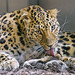 Leopard grooming paw