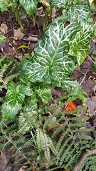 Arum italicum Mill. subsp. italicum (Peter M Greenwood) Tags: arumitalicum arum italicum arumitalicumsubspitalicum
