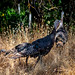 Wild Turkeys in the Grass No2