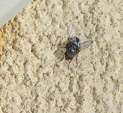 Fly on wall:  28.11.19. (VolVal) Tags: dorset bournemouth boscombe garden insect fly flyday wall november