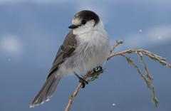 Snowy Gray Jay (markvcr) Tags: snow gray jay bird winter canada wildlife coth5