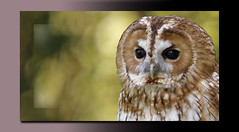 Contemplation... (A.J.Pendleton-Lightbox 2008) Tags: bird nature wildlife raptor owl tawny