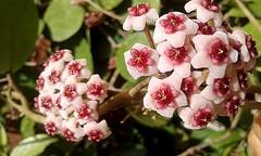 Hoya Obovata (mnovela2293) Tags: apocynaceae hoya hoyobovata molucasindonesia sulawesi 1844ovalgruesanectar