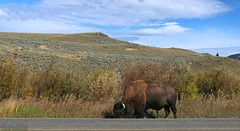 Hello?  Triple A?  I need roadside assistance. (Shannon Rose O'Shea) Tags: shannonroseoshea shannonosheawildlifephotography shannonoshea shannon wildamericanbison americanbison wildbison bison animal mammal male bull ungulate bovine bovidae yellowstonenationalpark wyoming outdoors outdoor outside road mountains bluesky clouds nature wildlife landscape grass sagebrush horns colorful colourful colors colours art photo photography photograph wildlifephotography wildlifephotographer wildlifephotograph wild flickr smugmug wwwflickrcomphotosshannonroseoshea camera canon canoneos80d canon80d canon100400mm14556lisiiusm eos80d eos 80d canon80d100400mmusmii 2019 5562 femalephotographer girlphotographer womanphotographer shootlikeagirl shootwithacamera throughherlens justagirlwithacamera canongirl tree roadside closeup close