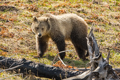 Young lady (ChicagoBob46) Tags: grizz grizzly grizzlybear bear sow yellowstone yellowstonenationalpark nature wildlife naturethroughthelens coth5 ngc npc