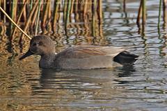 5950 Gadwall (photozone72) Tags: wildlife nature birds wwtbarnes londonwetlandcentre gadwall canon canon7dmk2 7dmk2 canon100400f4556lii